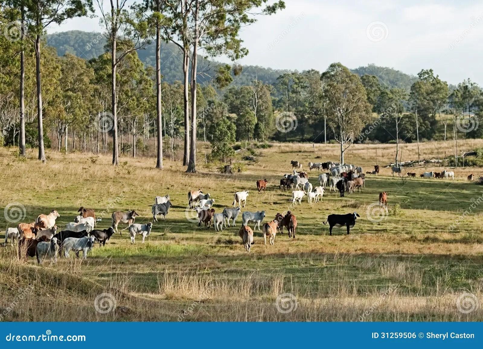 Australian Eucalypt Cattle Country Landscape Royalty Free