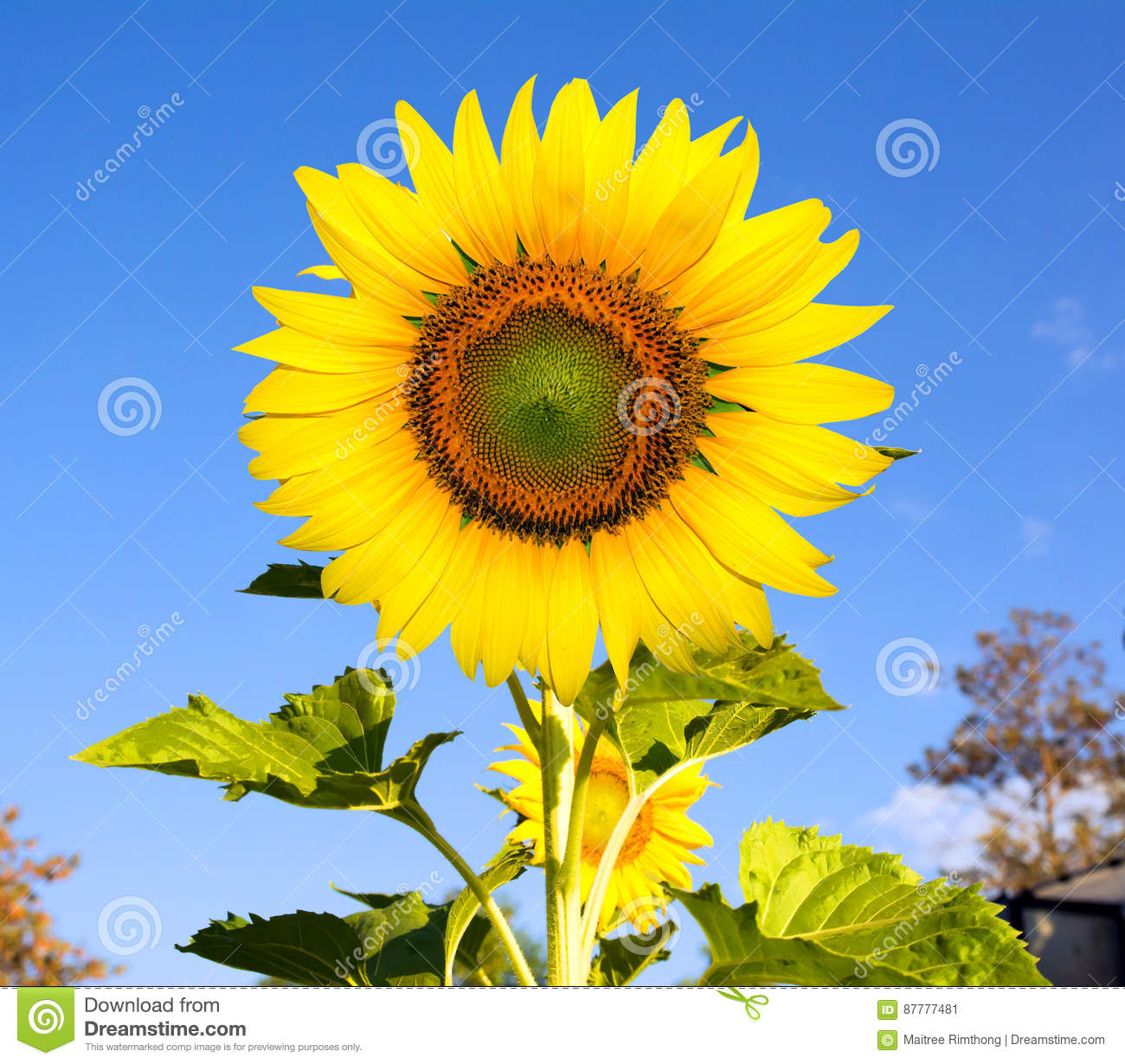 Beautiful Sunflower Flowers Blooming In The Field Stock Image     Download Beautiful Sunflower Flowers Blooming In The Field Stock Image    Image of sunflowers  nature