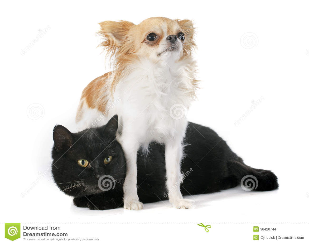 Black And White Tom Cats Pictures Chihuahuas