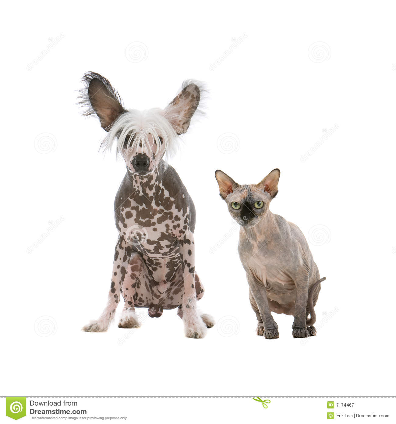 Chinese Crested Dog And A Sphynx Hairless Cat Royalty Free ...