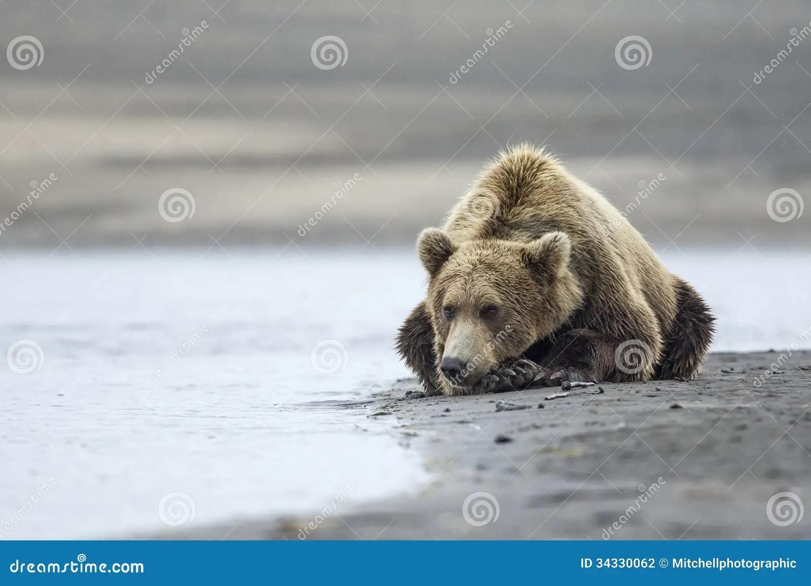 Coastal Brown Bear Stock Photography - Image: 34330062