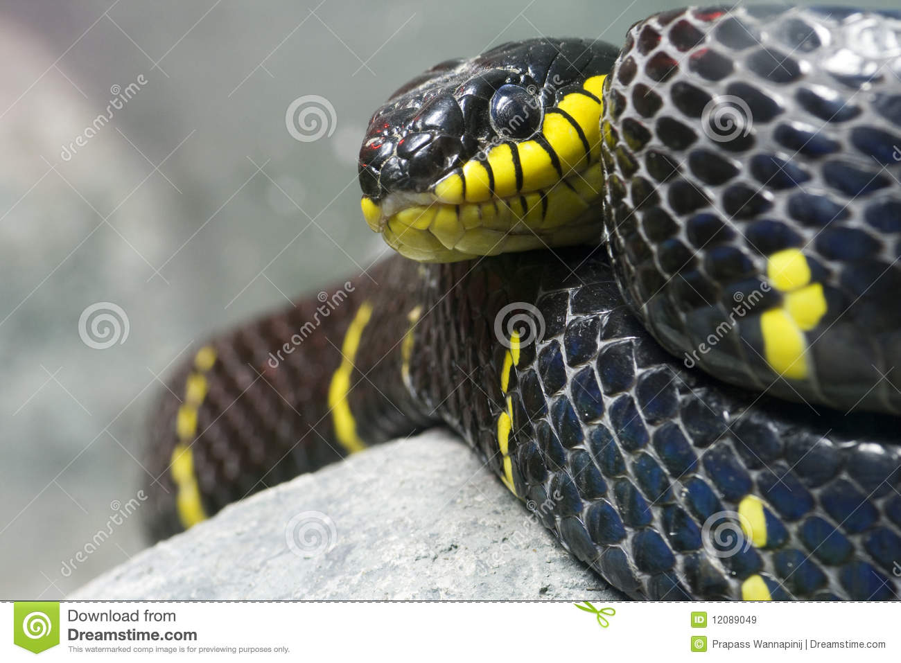 Colorful Black And Yellow Snake Royalty Free Stock Images