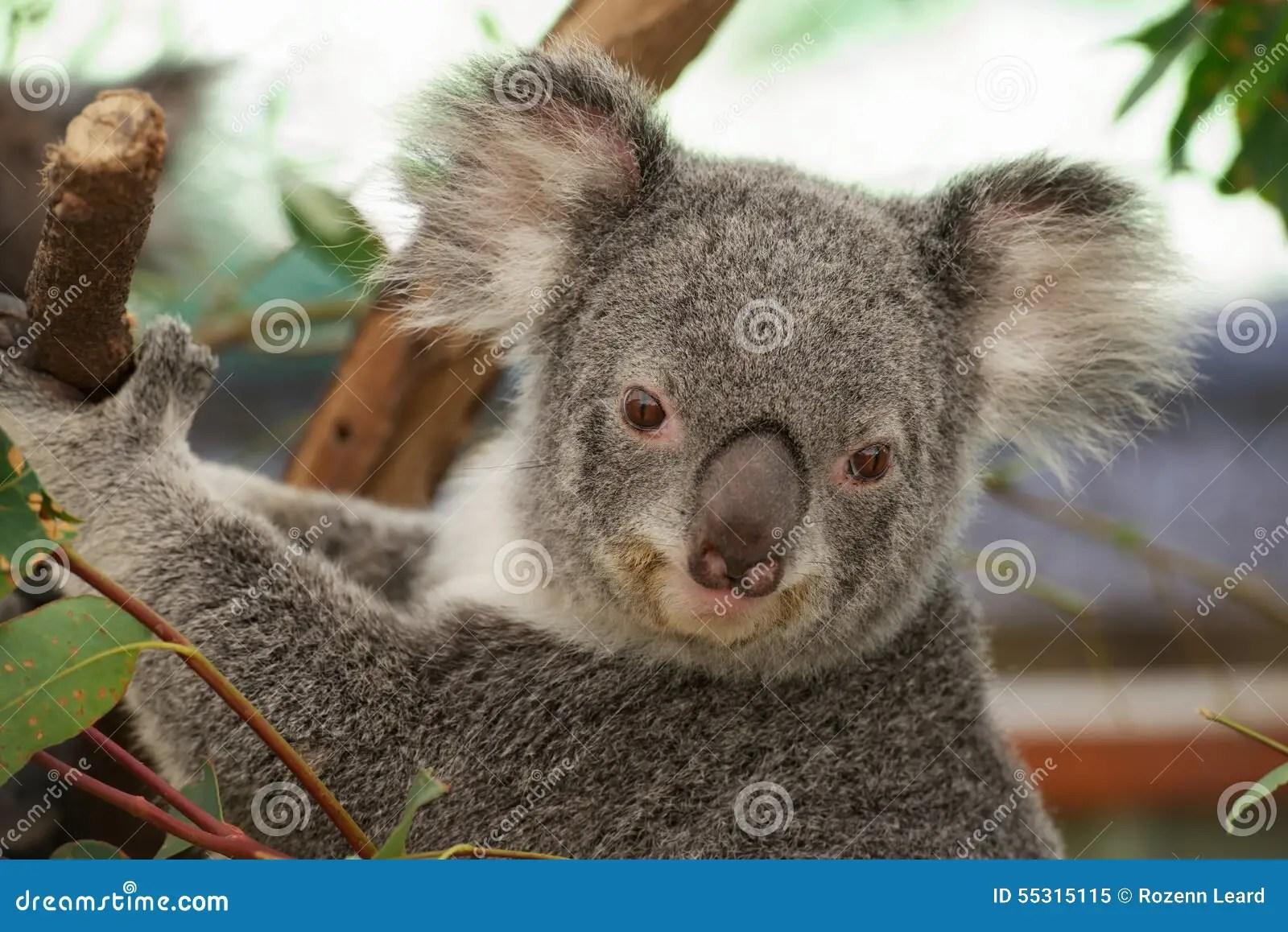 Cute Koala Stock Photo - Image: 55315115