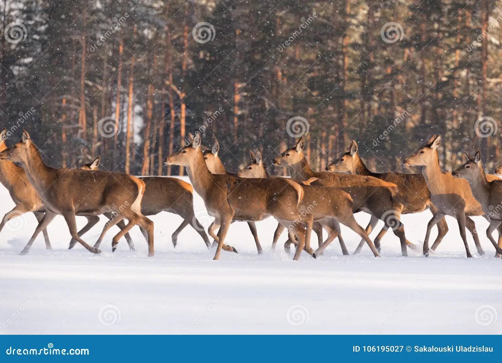 Deer Run On Snow. Numerous Herd Of Deer Cervus Elaphus, Illuminated
