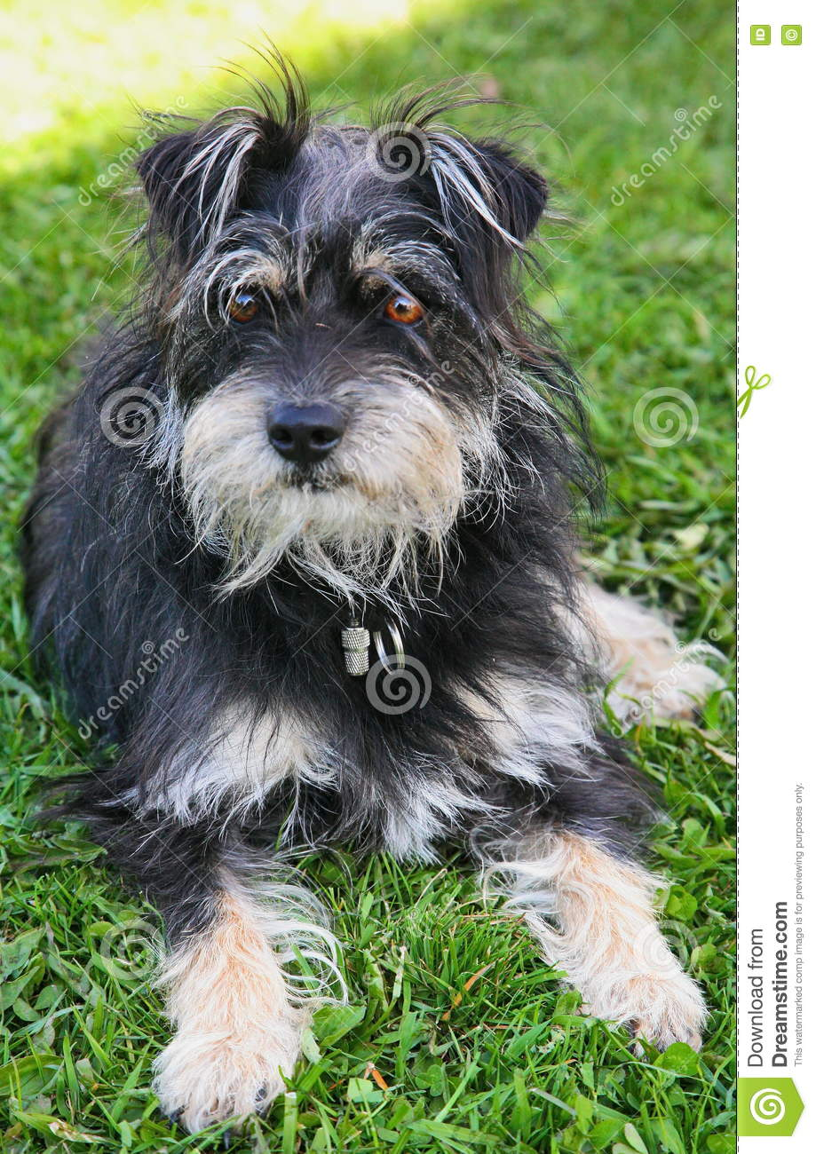 Dog Terrier Little Devil Mixed Grey Steel Gray And