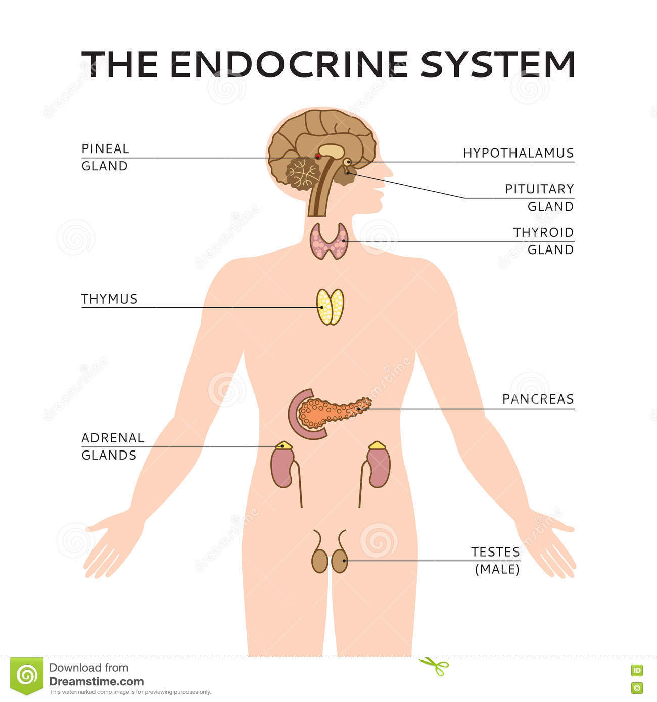 Diagram Of Endocrine System Male