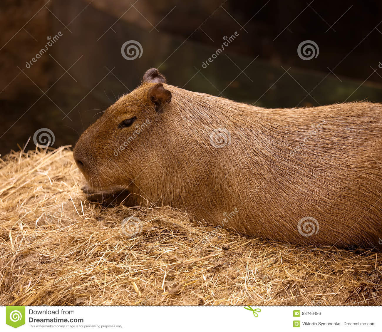 Elegant And Beautiful Capybara Close Up In The Zoo  Stock Photo     Elegant and beautiful capybara close up in the zoo