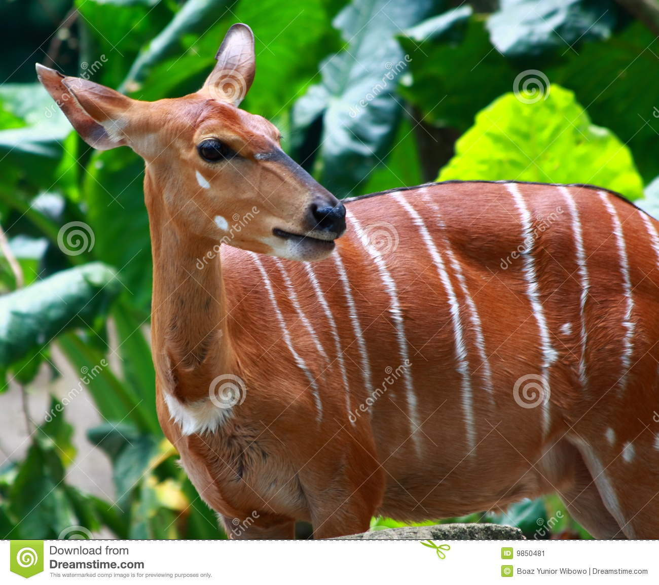 A Female Bongo Stock Image - Image: 9850481