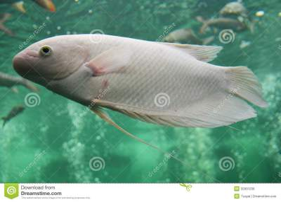 Freshwater Fish In Aquarium Stock Photo - Image: 32931236
