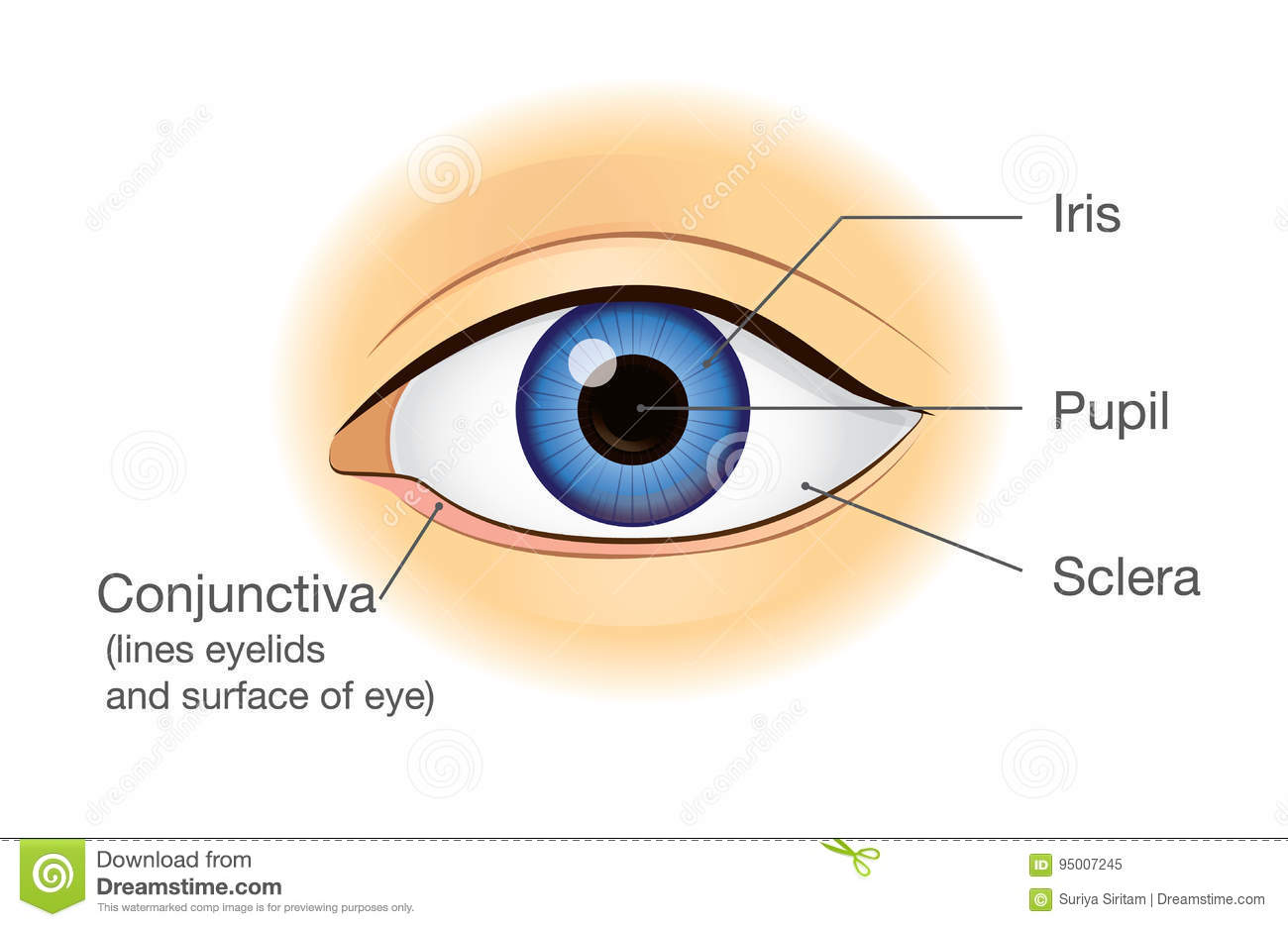 Muscles Of The Eye Diagram Optic Image Human Download