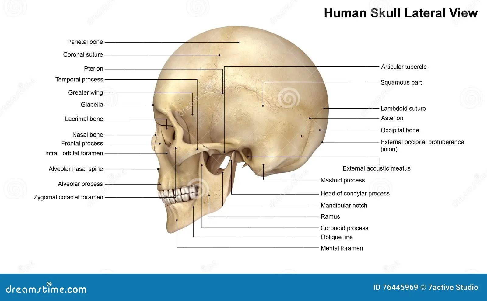 Nasal Bone Fetal Development