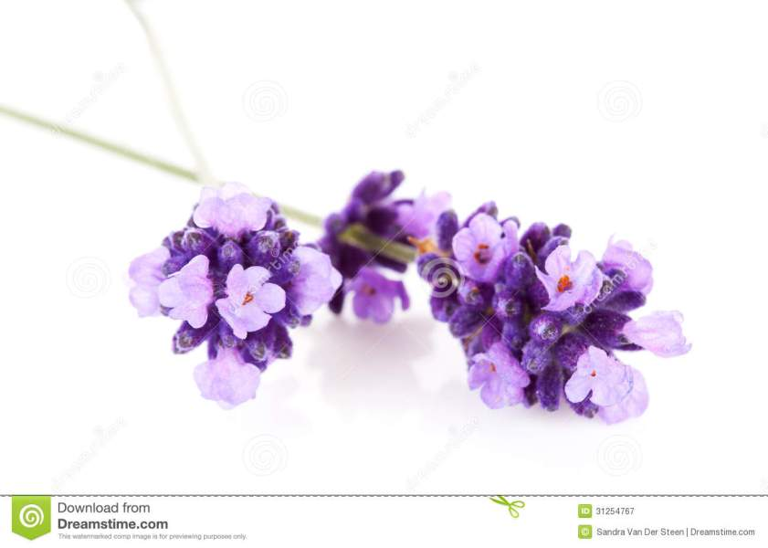 Lavender flower in closeup stock image  Image of purple   31254767 Lavender flower in closeup