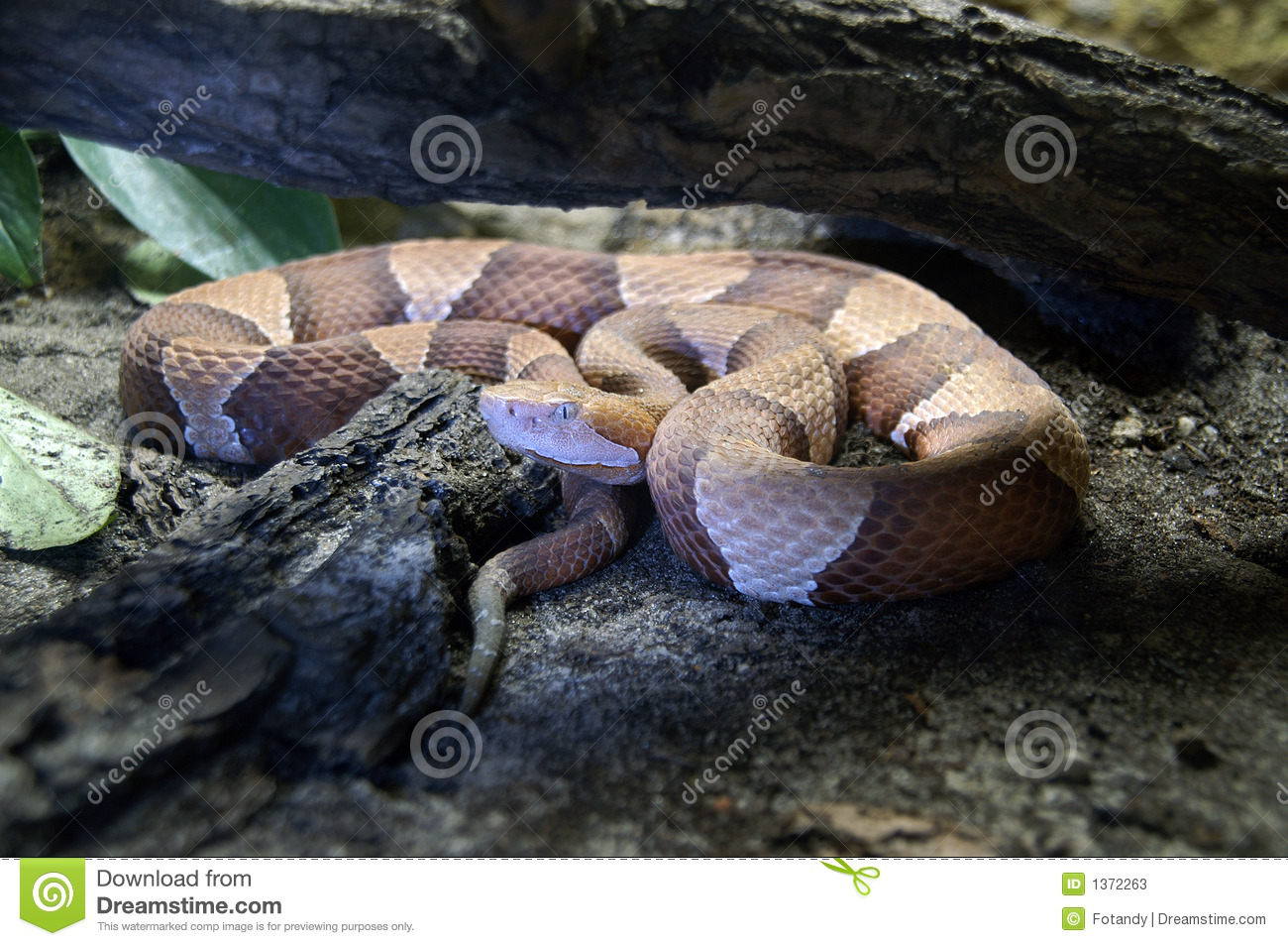 northern copperhead map - 800×532