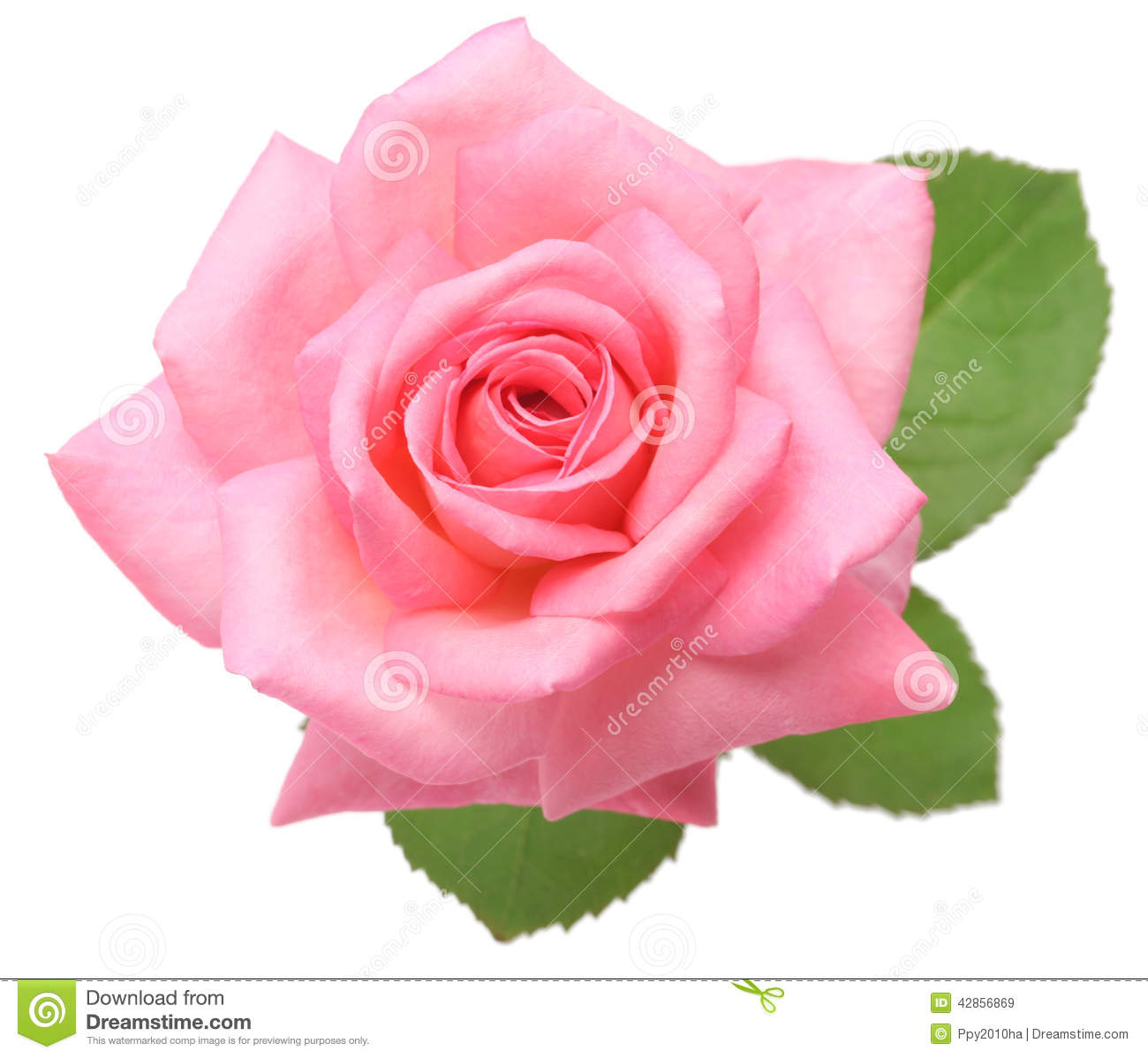 Pale Pink Rose No Background
