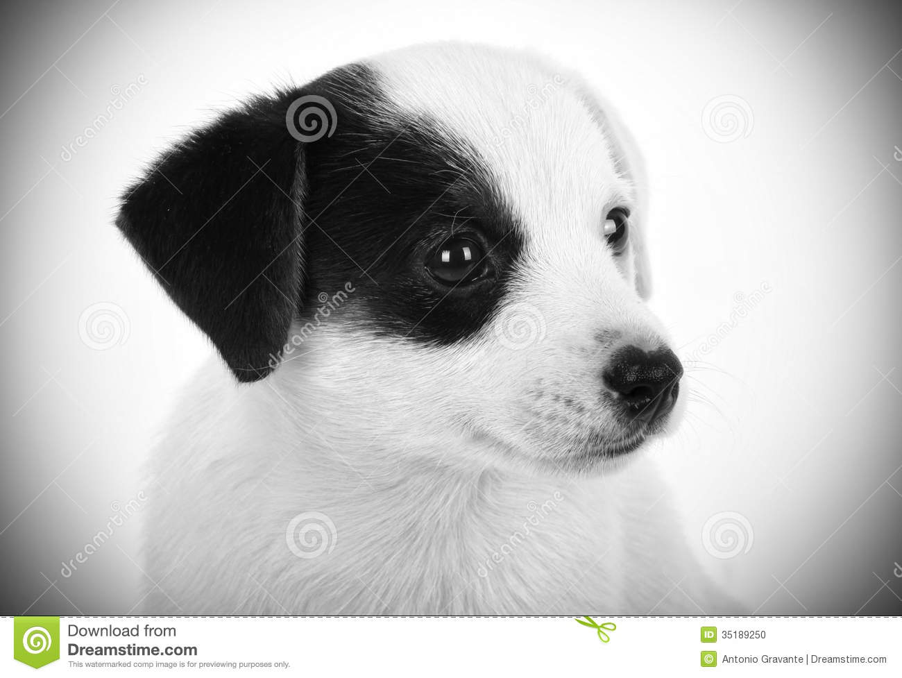 Black And White Russell Puppies Jack