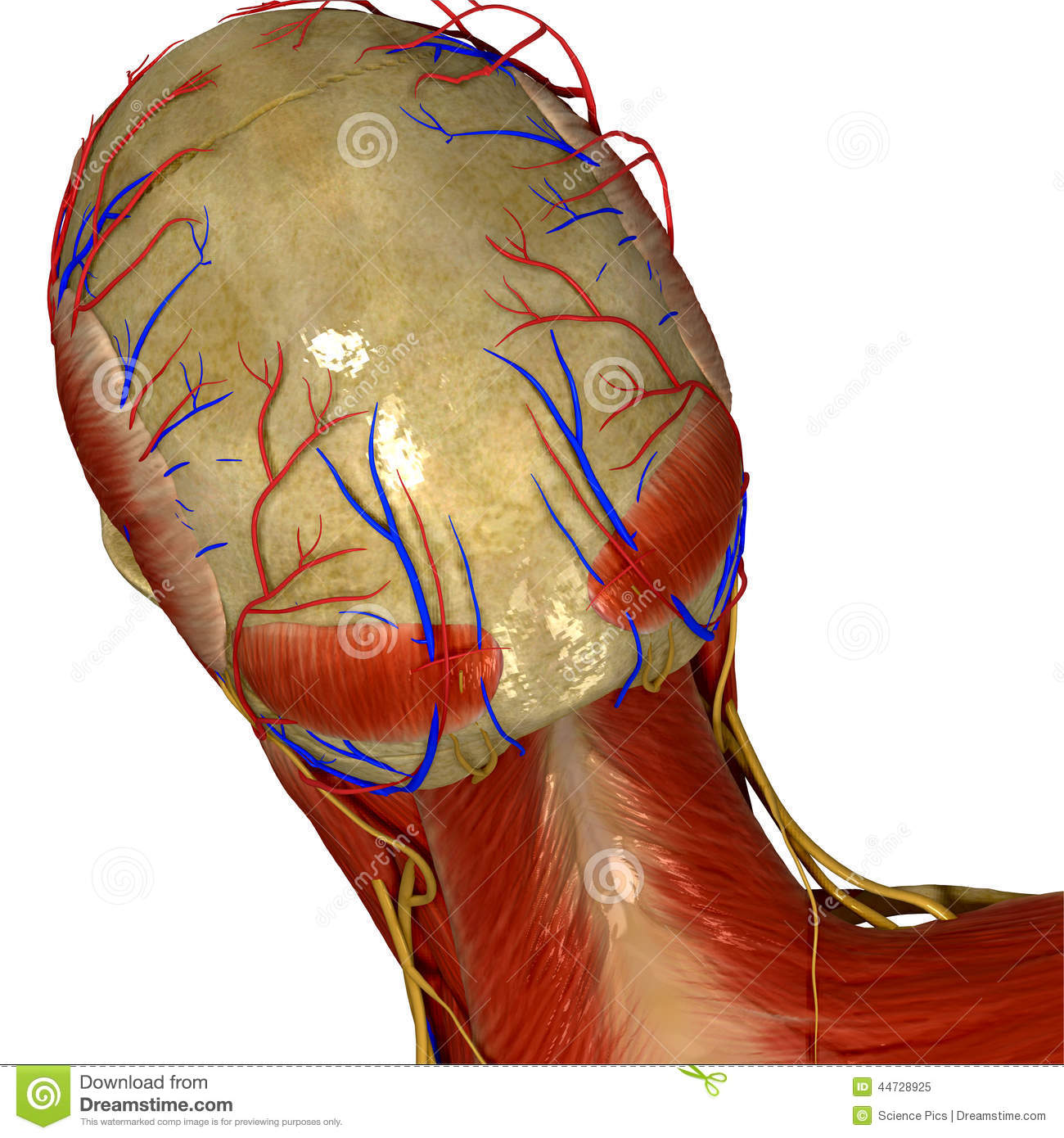 Many Human Are Nerves Body How