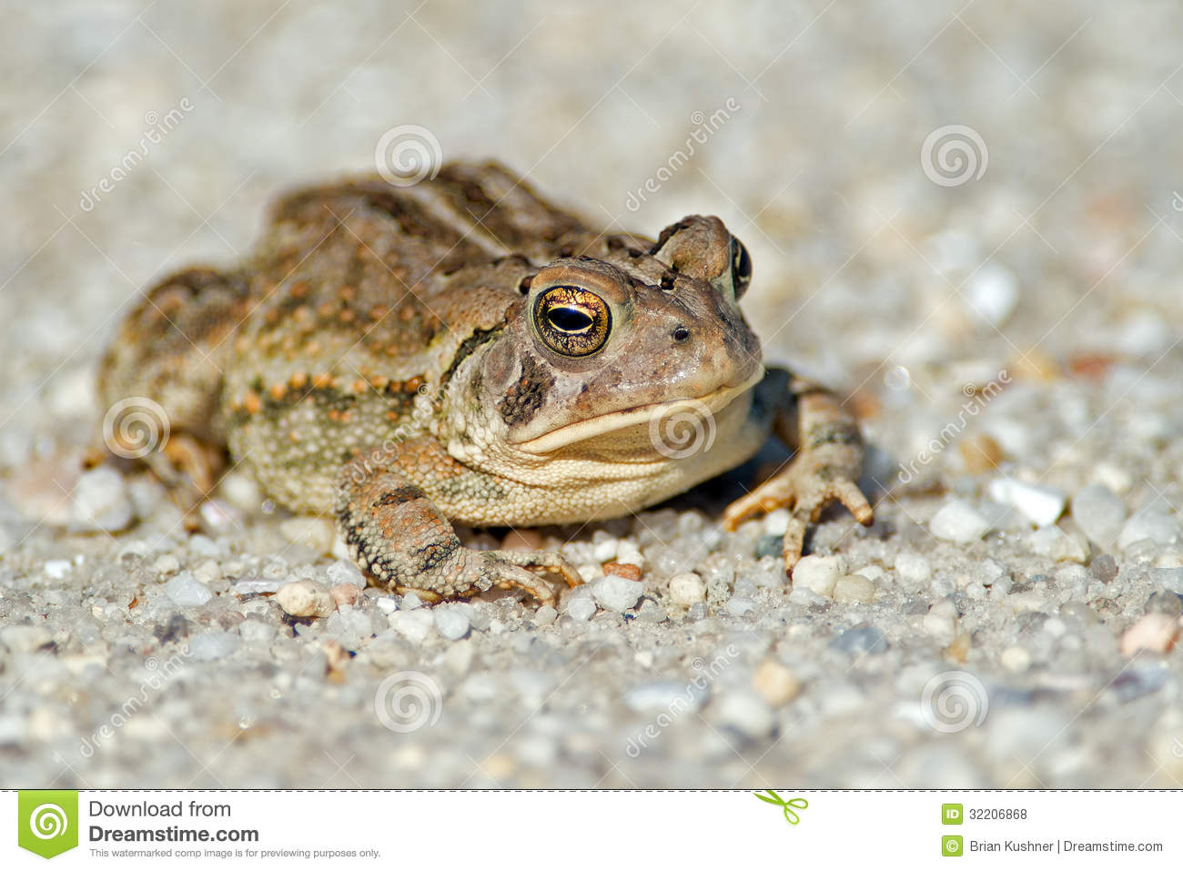 Toad stock photo. Image of jumping, reptile, toad, croak ...