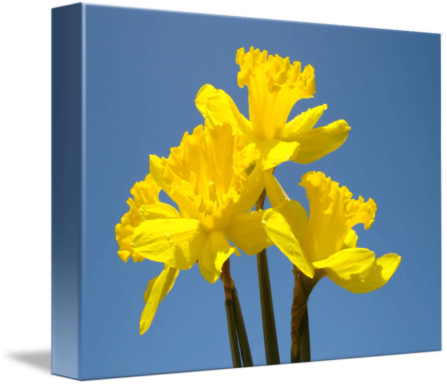 Spring Art Prints Daffodils Flowers Canvas Framed by Baslee Troutman     Spring Art Prints Daffodils Flowers Canvas Framed by Baslee Troutman Fine  Art Prints