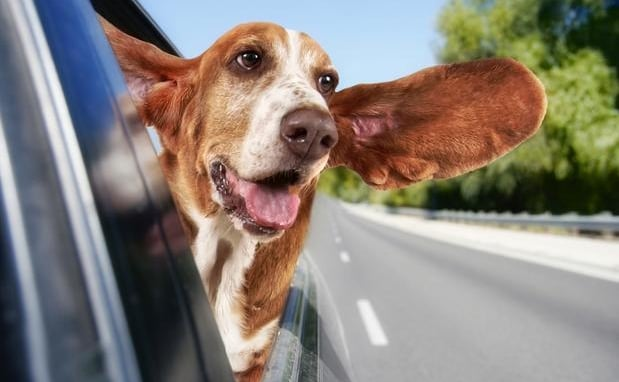 precisa cinto de segurança para transportar cachorro
