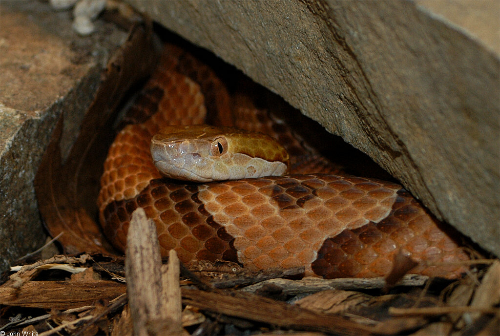northern copperhead pictures - 800×538