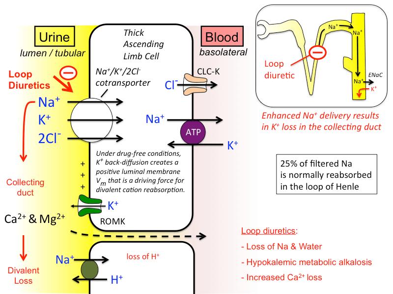 Reabsorption Nephron Water