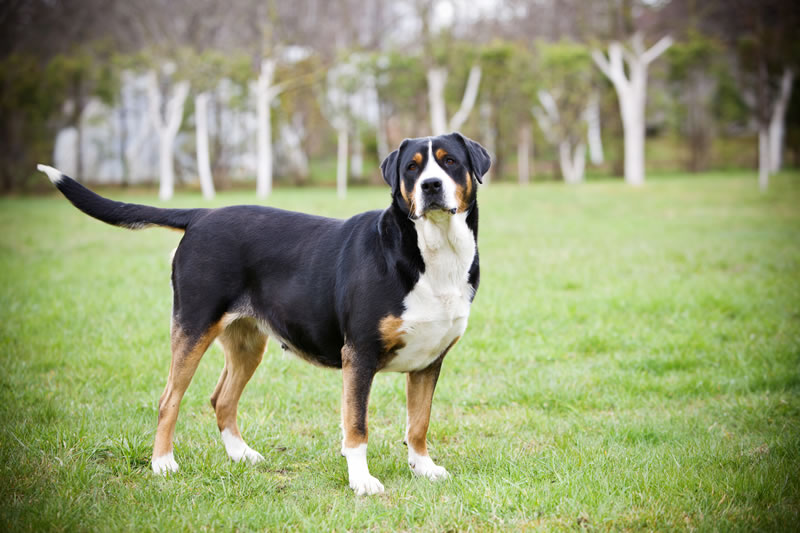 Anjing Breed Big Swiss Zennenhund Photo