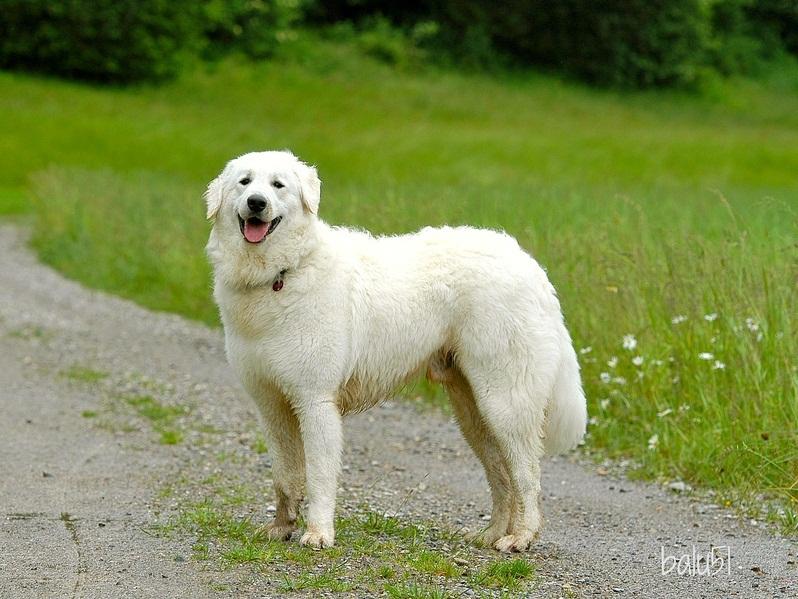 Lista de grandes razas de perros: Kuvas. Foto