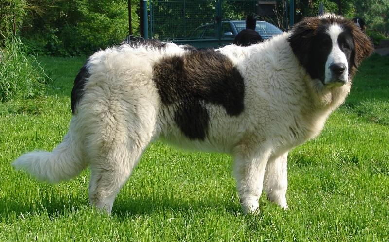 Baka besar anjing: Mastiff Pyrenean. Foto