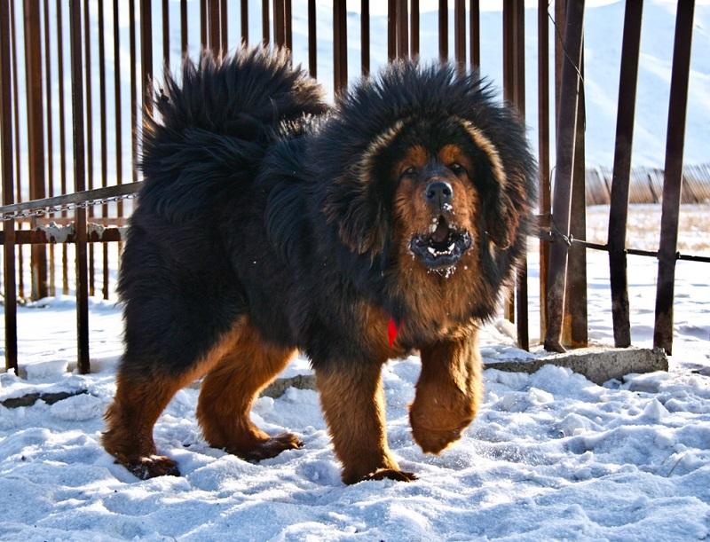 Fotos de perros grandes: mastín tibetano.