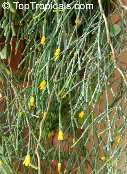 Hatiora Salicornioides Bambusoides Villigera Stricta