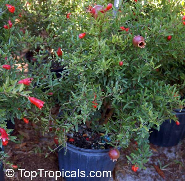 Tree Pot Pomegranate Planting