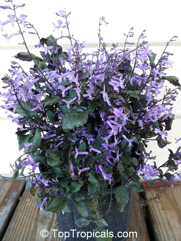 Lavender Plants Sale Homebase