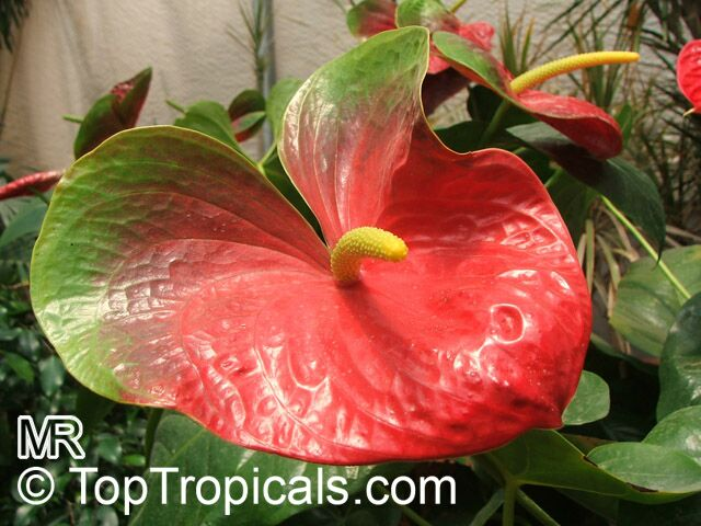 Hawaiian Lava Plant Care
