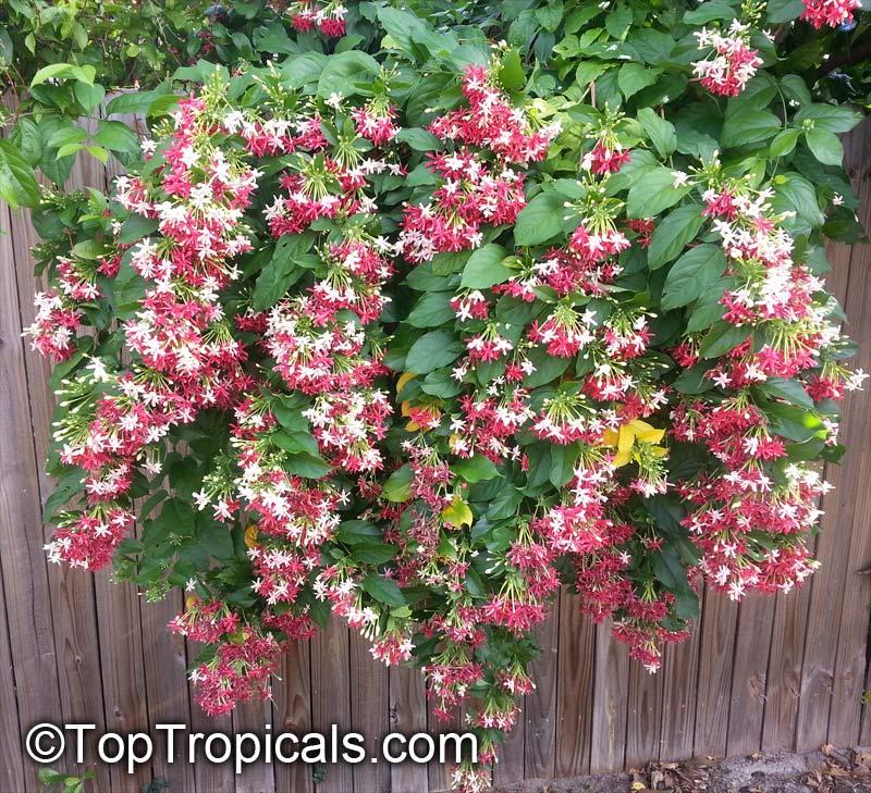 Quisqualis Hybrid Thailand Thai Double Flower Rangoon
