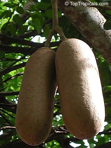Kigelia Pinnata Sausage Tree Toptropicals Com