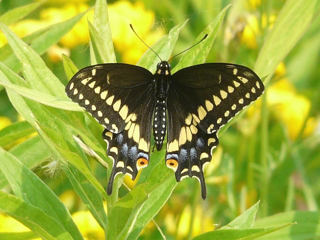 Toronto Wildlife - More Eastern Black Swallowtail Butterflies
