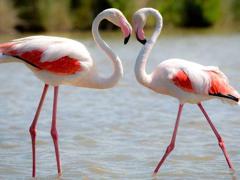Vaaleanpunainen Flamingo - useimmat perheen edustajat, jotka asuvat Euraasiassa
