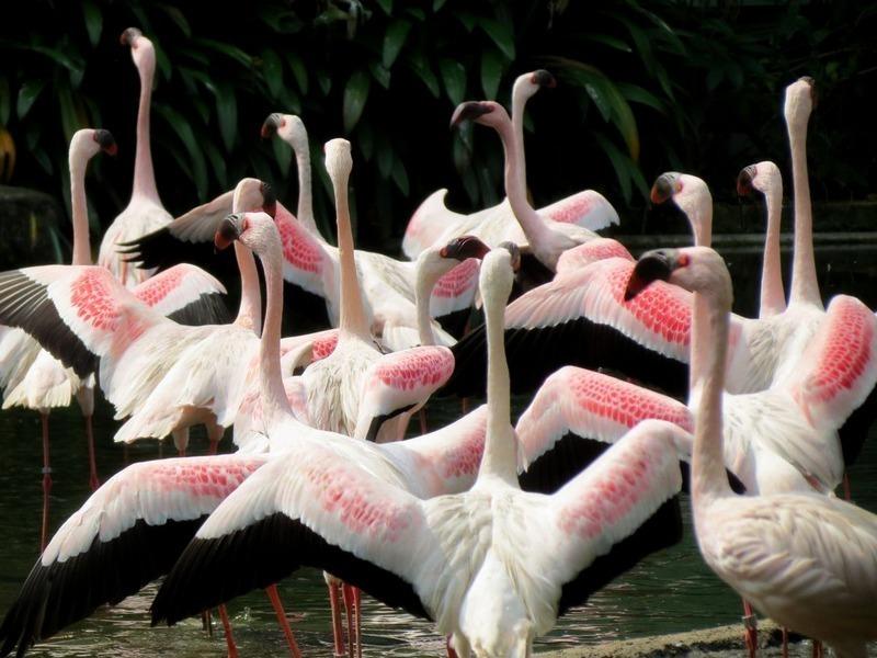 Pieni flamingo - Afrikan maanosan asukas, pieni väkiluku on myös Intiassa ja Pakistanissa