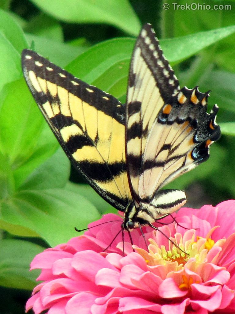 Eastern Tiger Swallowtail Butterflies and Black ...