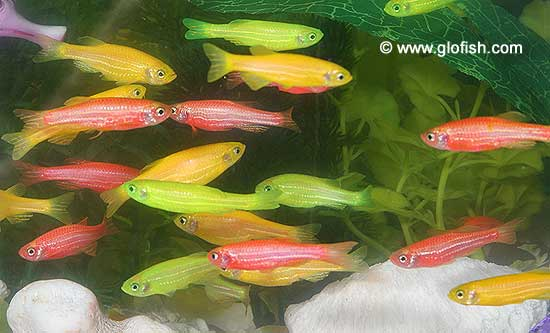 Glofish | Danio rerio genetically altered | Tim's Tropical ...