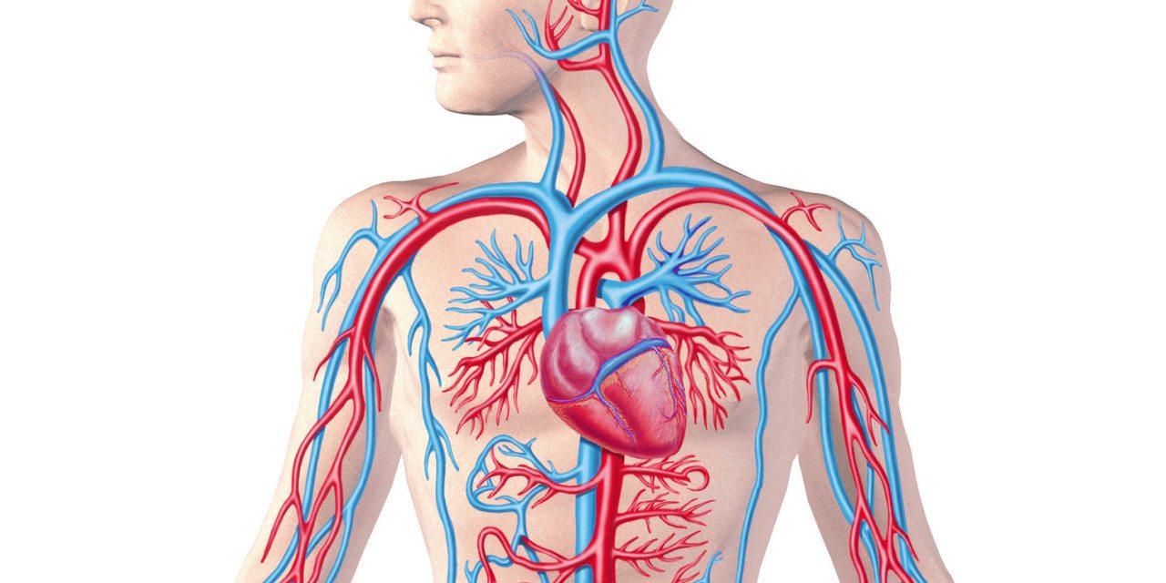 circulatory system images - 1280×640