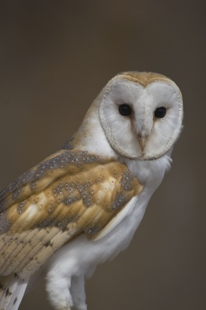 Barn Owl Facts - Barn Owl Information : Twootz.com