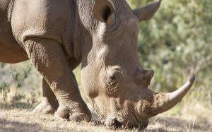 7 INTERESTING FACTS ABOUT THE SOUTHERN WHITE RHINO