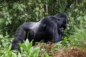 Mountain Gorilla Safaris – All you need to know before Your gorilla tour