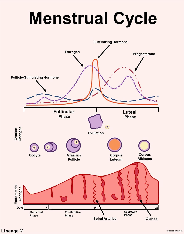 counting menstrual cycle - HD1176×1500