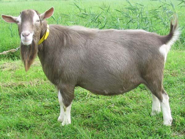 Goats Cross Boer Myotonic
