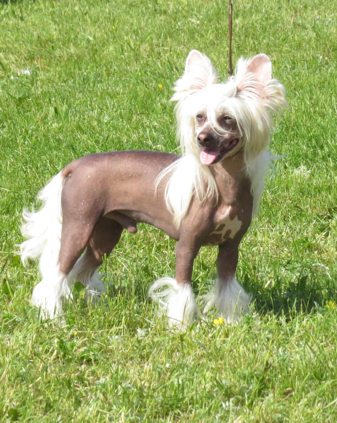 Chinese Crested Dog - Wikipedia