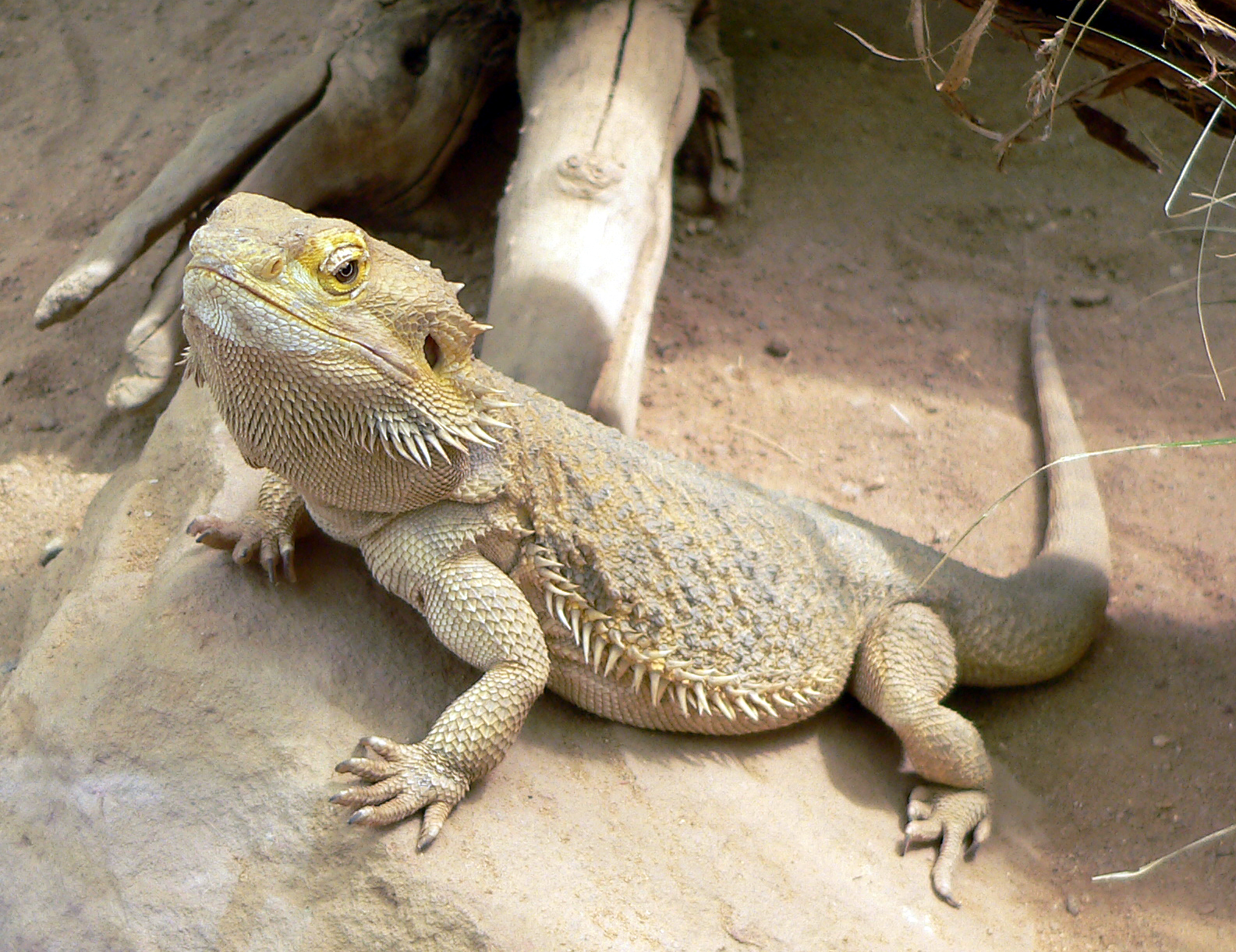 Central bearded dragon - Wikipedia