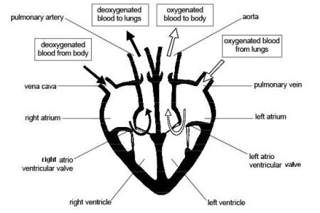 Human heart drawing easy path decorations pictures full path heart steps with pictures wikihow rh wikihow com easy method to draw heart diagram easy method to draw heart diagram collection of easy human heart ccuart Image collections