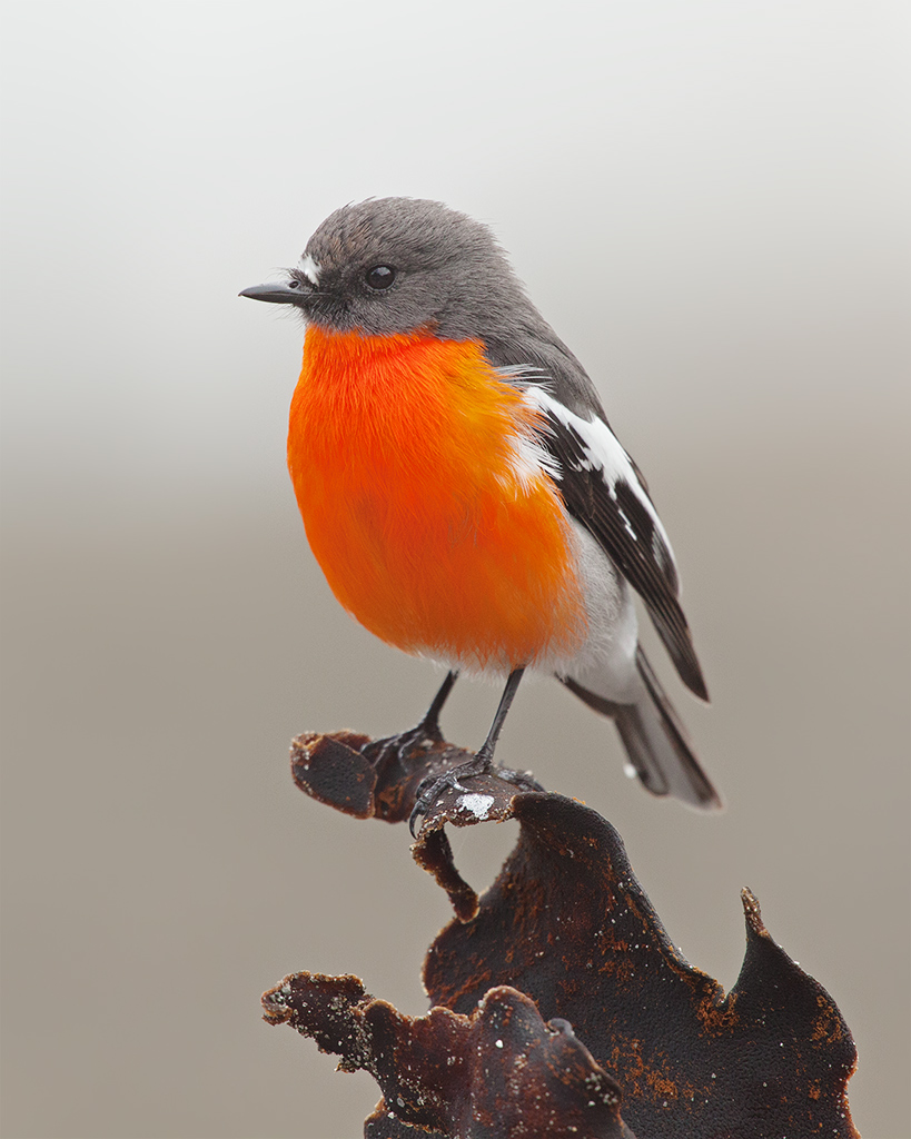 Flame robin - Wikipedia
